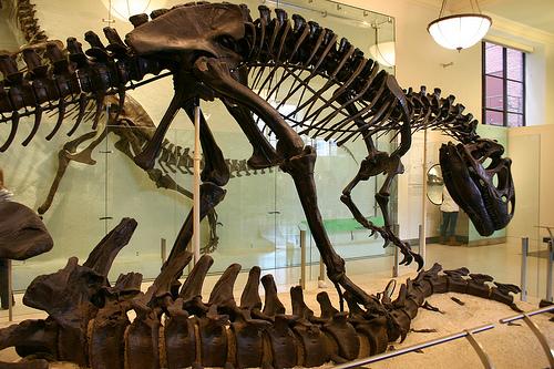 File:Allosaurus fragilis over Apatosaurus excelsus.jpg