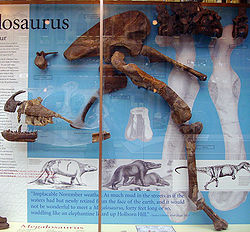 250px-Megalosaurus display