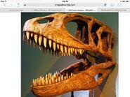 Carcharodontosaurusskull