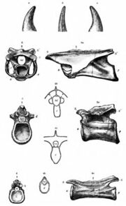 Coelurus Vertebrae