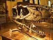 Torvosaurus Skull