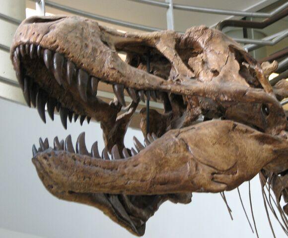 File:UCMP Trex skull lower left.JPG