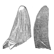 220px-Polyptychodon tooth by Emmons