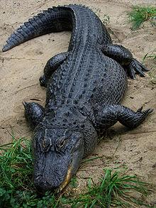 220px-American Alligator.jpg