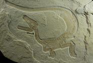 Skeleton-of-Sciurumimus-as-found-on-a-limestone-slab
