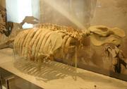 Metaxytherium floridanum fossil