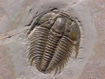 Image result for trilobites