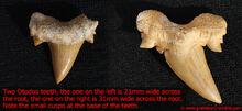 Otodus-teeth