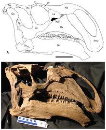 Choyrodon skull