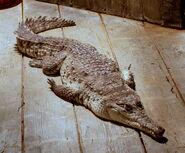 OrinocoCrocodile