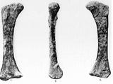 Eoplophysis