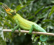 Jackson's Chameleon.jpg