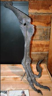 Right leg fossil of Utahraptor