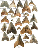 220px-Megalodon teeth