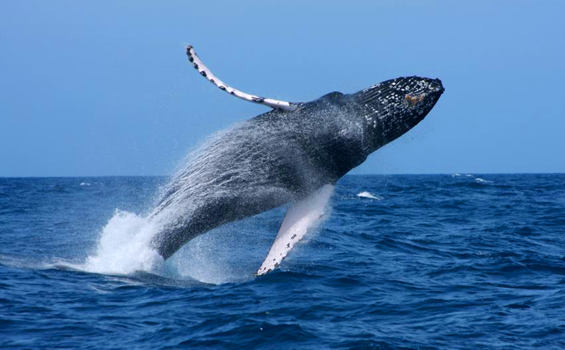 Image whale blue breach maing dinopedia fandom powered by wikia whale blue breach maing altavistaventures Image collections