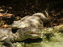 220px-Siamese Crocodiles.JPG