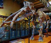 ArchaeobelodonSkeleton