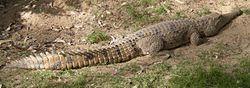 250px-Crocodylus johnstoni.jpg