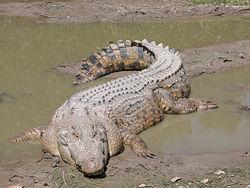 250px-SaltwaterCrocodile('Maximo').jpg