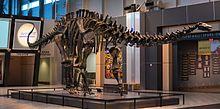Brontosaurus parvus