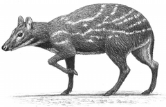 Fig-1-Life-reconstruction-of-an-adult-male-of-the-genus-Dorcatherium-Artwork-by.png