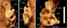 Hulsanpes braincase wall f683