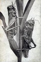 Rocky Mountain locust photo in 1870s