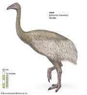 South-Island-giant-moa-female-Dinornis-robustus.jpg