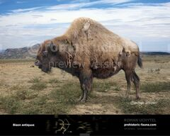 Bison-antiquus-738x591.jpg