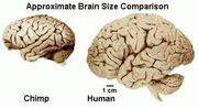 Images chimp brain/human brain