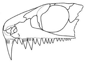 Colobomycter phoeleter skull