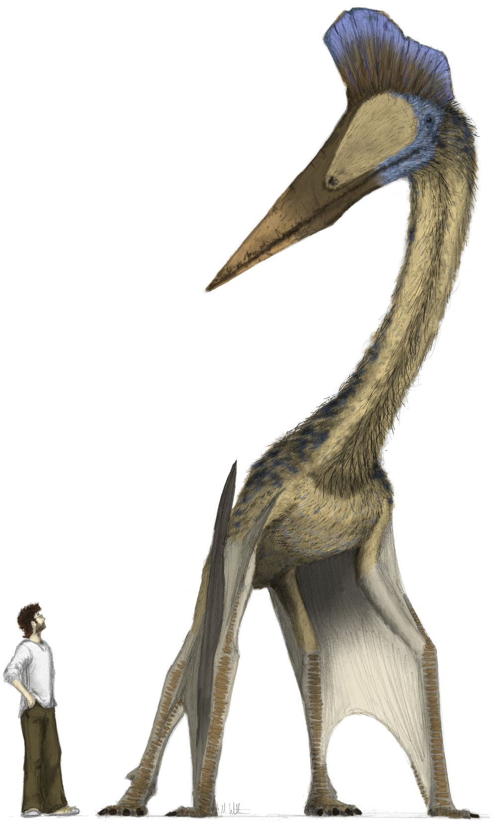 Hatzegopteryx Size Hatzegopteryx   Dinope...