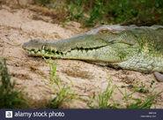 Orinoco-crocodile-crocodylus-intermedius-head-of-adult-los-lianos-in-venezuela-X001H0