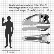 Carcharodontosaurus skull diagram