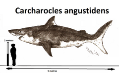 Carcharocles angustidens by teratophoneus-d8w3v5q.png
