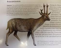 Procranioceras