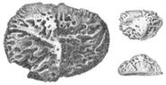 220px-Deinosuchus scutes by Hatcher