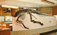Edmontosaurus-skeleton-postcard-1000x615