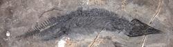 Gunakadeit fossil.jpg.png