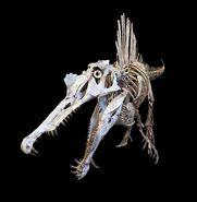 Spinosaurus private specimen