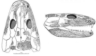 Pholidogaster skull