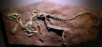 Heterodontosaurus cast
