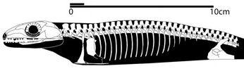 Coelostegus prothales skeleton
