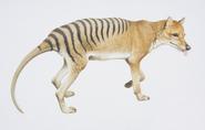 Thylacine color illustration