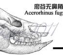 Acerorhinus