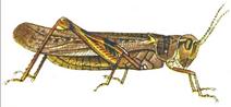 Rocky Mountain locust illustration in 1902