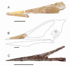 Apatoramphus gyrostega