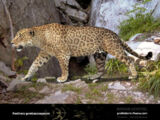 European Jaguar