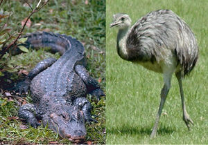 Chinese alligator and rhea