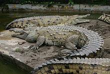 220px-Croc inter